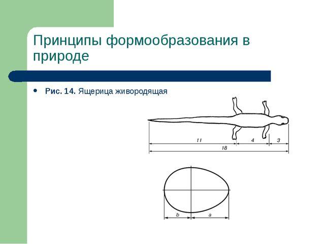 Принципы формообразования в природе Рис. 14. Ящерица живородящая Рис. 15. Яйц...