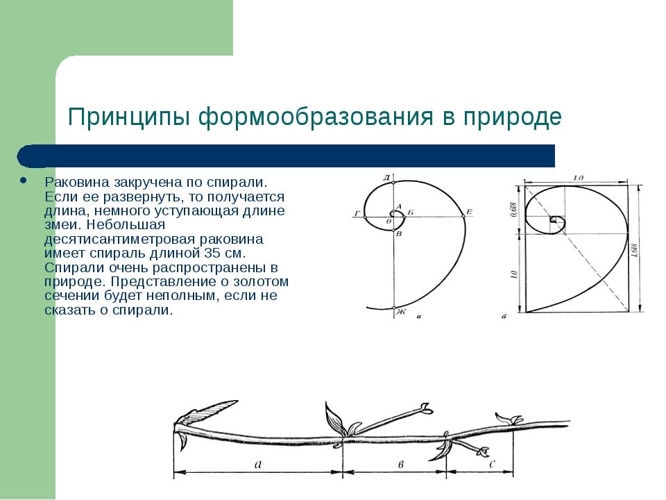 Принципы формообразования в природе Раковина закручена по спирали. Если ее ра...