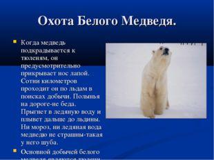 Охота Белого Медведя. Когда медведь подкрадывается к тюленям, он предусмотрит
