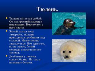 Тюлень. Тюлень питается рыбой. Он прекрасный пловец и ныряльщик. Вместо ног у