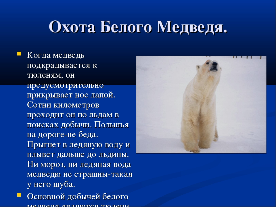 Охота Белого Медведя. Когда медведь подкрадывается к тюленям, он предусмотрит...