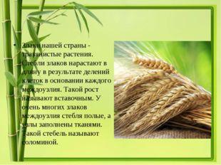 Злаки нашей страны - травянистые растения. Стебли злаков нарастают в длину в