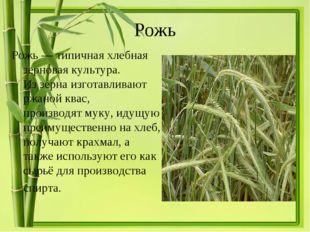 Рожь Рожь— типичнаяхлебная зерновая культура. Иззернаизготавливают ржаной