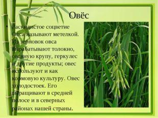 Овёс Раскидистое соцветие Овса называют метелкой. Из зерновок овса вырабатыва