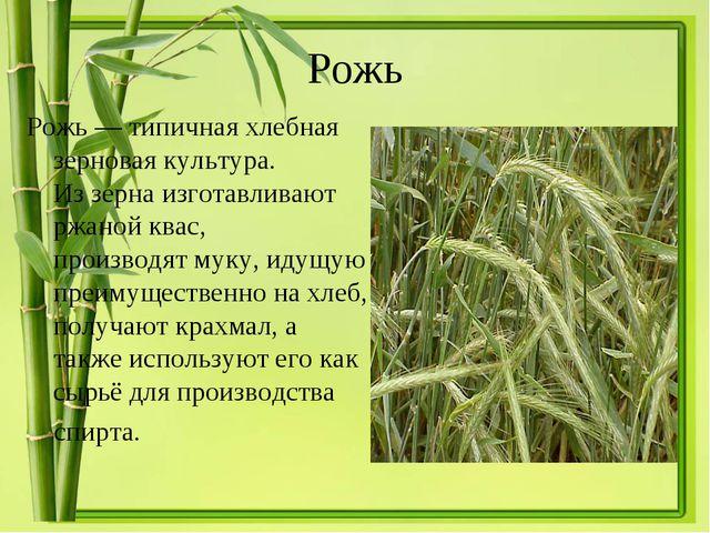 Рожь Рожь— типичнаяхлебная зерновая культура. Иззернаизготавливают ржаной...