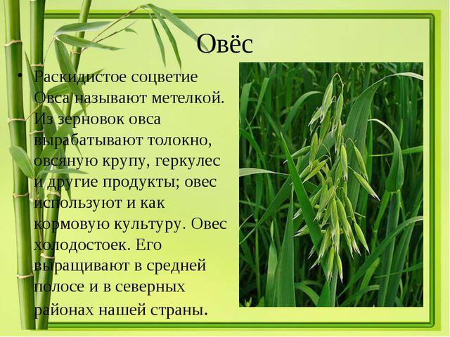 Овёс Раскидистое соцветие Овса называют метелкой. Из зерновок овса вырабатыва...