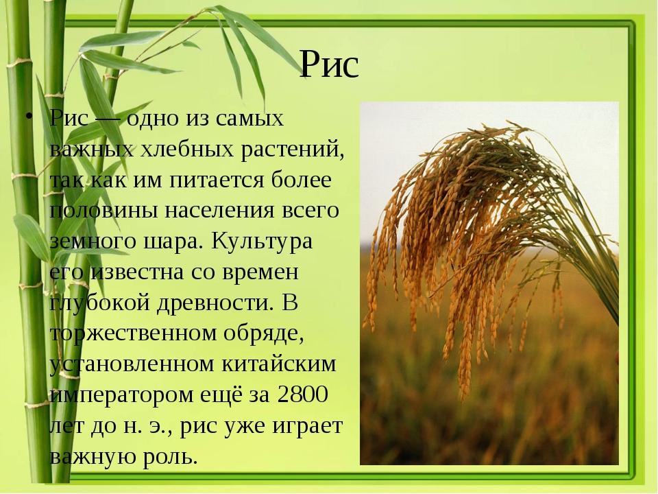 Рис Рис— одно из самых важных хлебных растений, так как им питается более по...