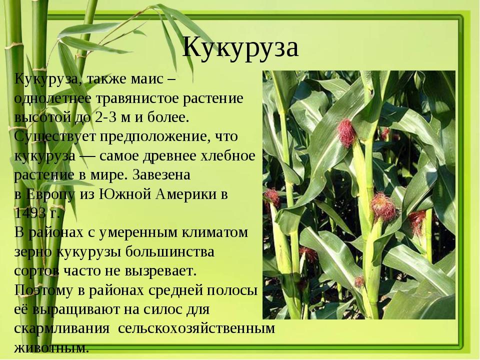 Кукуруза Кукуруза, такжемаис – однолетнее травянистое растение высотой до 2-...
