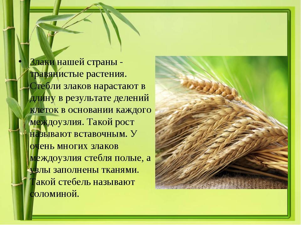Злаки нашей страны - травянистые растения. Стебли злаков нарастают в длину в...