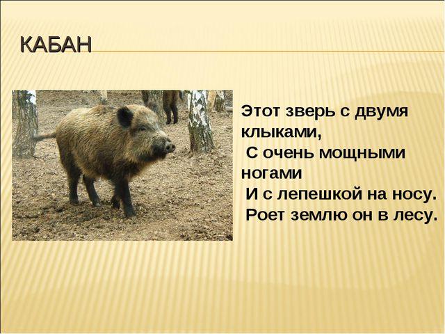 КАБАН Этот зверь с двумя клыками, С очень мощными ногами И с лепешкой на носу...
