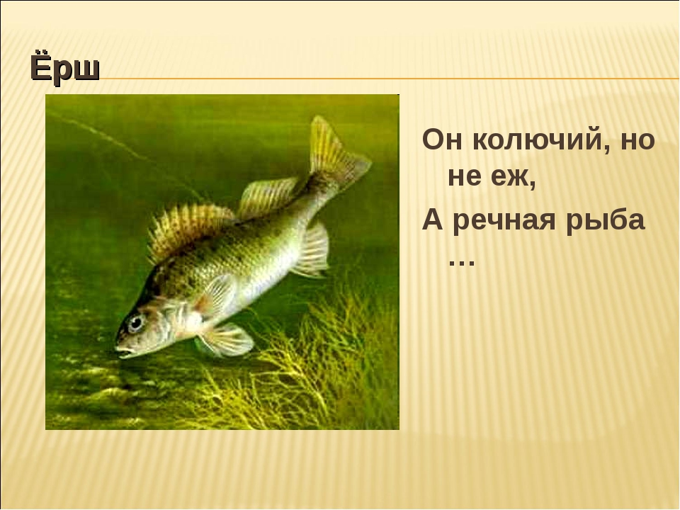 Ёрш Он колючий, но не еж, А речная рыба …