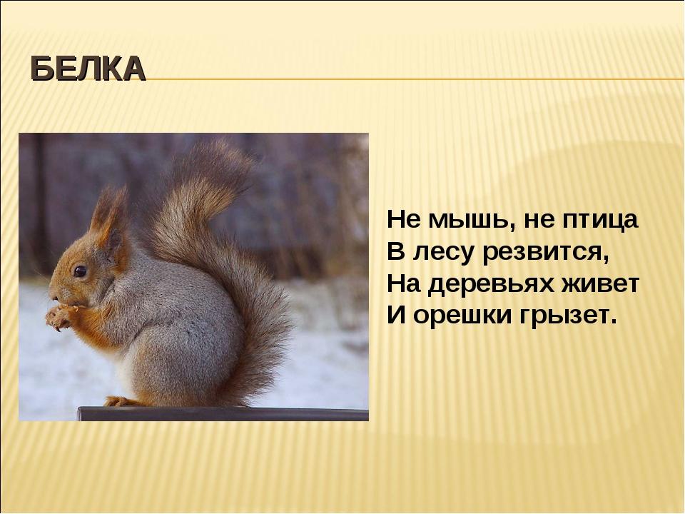 БЕЛКА Не мышь, не птица В лесу резвится, На деревьях живет И орешки грызет.