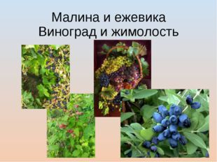 Малина и ежевика Виноград и жимолость