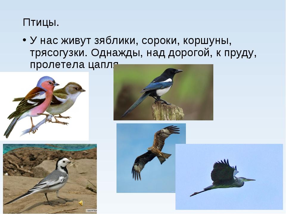 Птицы. У нас живут зяблики, сороки, коршуны, трясогузки. Однажды, над дорогой...