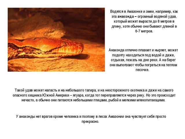 Водятся в Амазонке и змеи, например, как эта анаконда – огромный водяной удав...