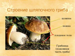 Строение шляпочного гриба шляпка ножка плодовое тело Грибница (подземная част