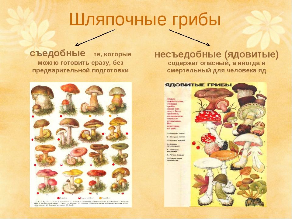 Шляпочные грибы съедобные те, которые можно готовить сразу, без предварительн...