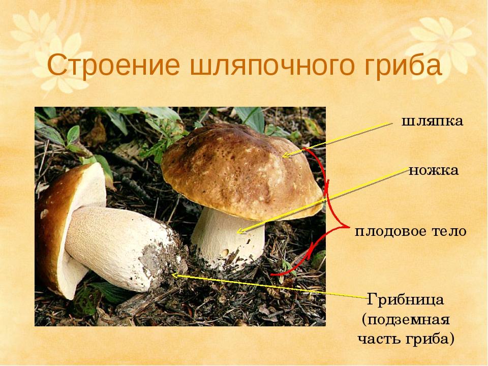 Строение шляпочного гриба шляпка ножка плодовое тело Грибница (подземная част...