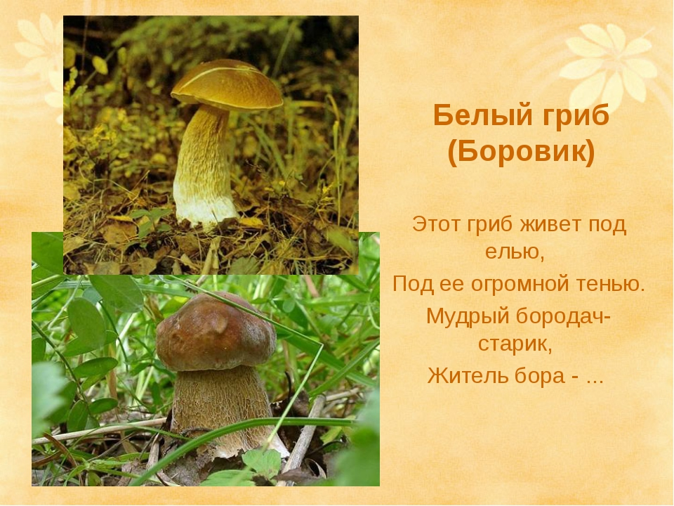 Белый гриб (Боровик) Этот гриб живет под елью, Под ее огромной тенью. Мудрый...