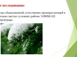 Объект исследования: хвоя сосны обыкновенной, естественно произрастающей в от