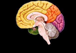 D:\РАЗРАБОТКИ УРОКОВ\8 класс\Головной мозг\36_20.png