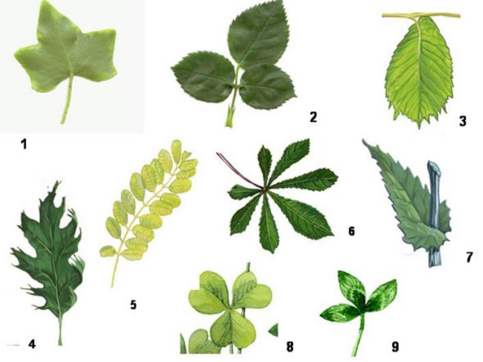 цветов фото листья сложные
