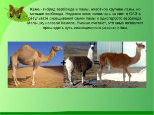 Кама - гибрид верблюда и ламы, животное крупнее ламы, но меньше верблюда. Нед