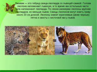 Леопон — это гибрид самца-леопарда со львицей-самкой. Голова леопона напомина