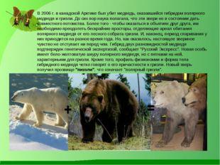 В 2006 г. в канадской Арктике был убит медведь, оказавшийся гибридом полярно