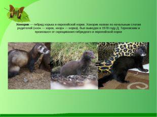 Хонорик — гибрид хорька и европейской норки. Хонорик назван по начальным слог