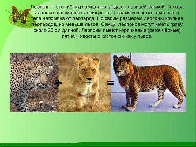 Леопон — это гибрид самца-леопарда со львицей-самкой. Голова леопона напомина...