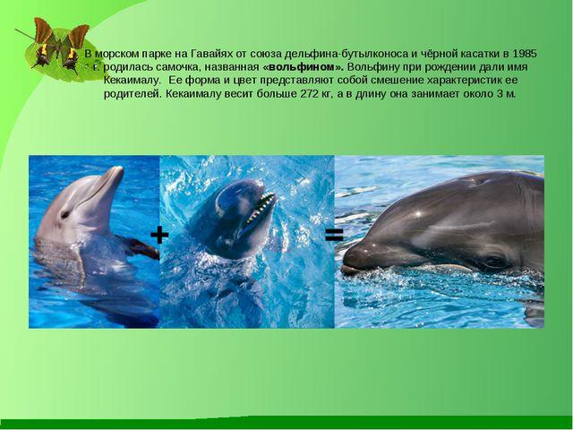 В морском парке на Гавайях от союза дельфина-бутылконоса и чёрной касатки в 1...