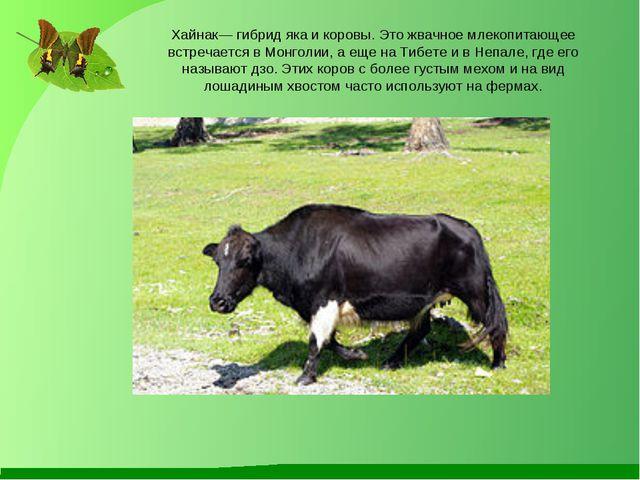 Хайнак— гибрид яка и коровы. Это жвачное млекопитающее встречается в Монголии...