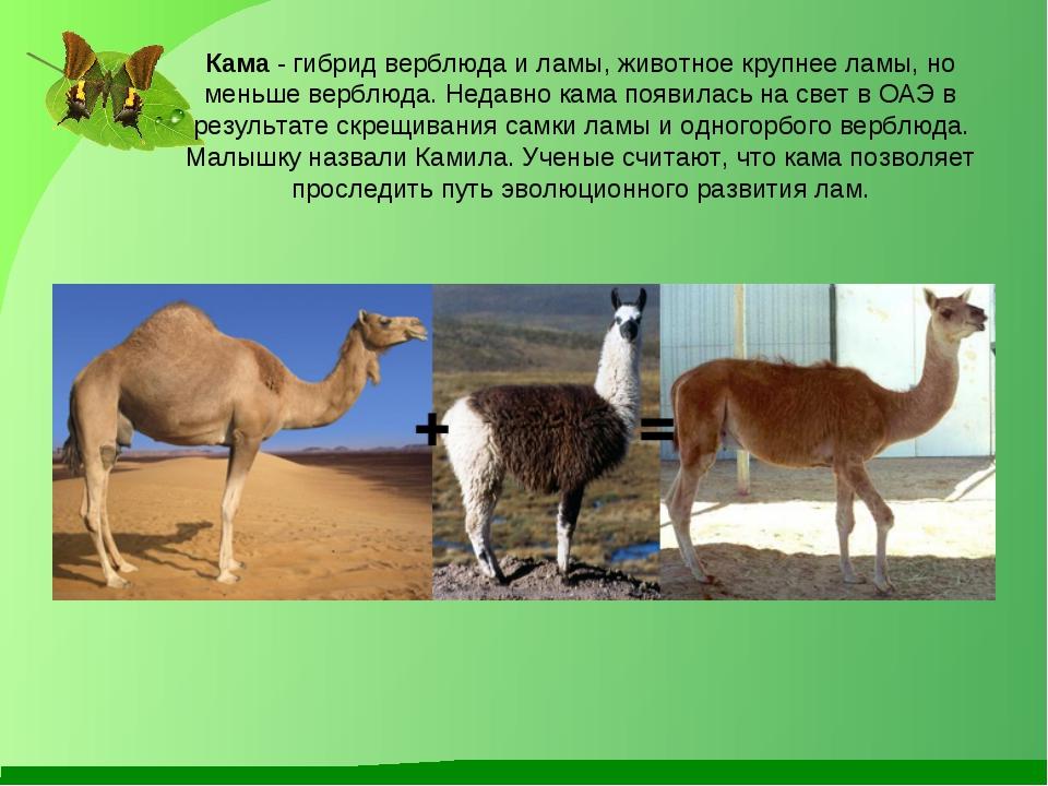 Кама - гибрид верблюда и ламы, животное крупнее ламы, но меньше верблюда. Нед...