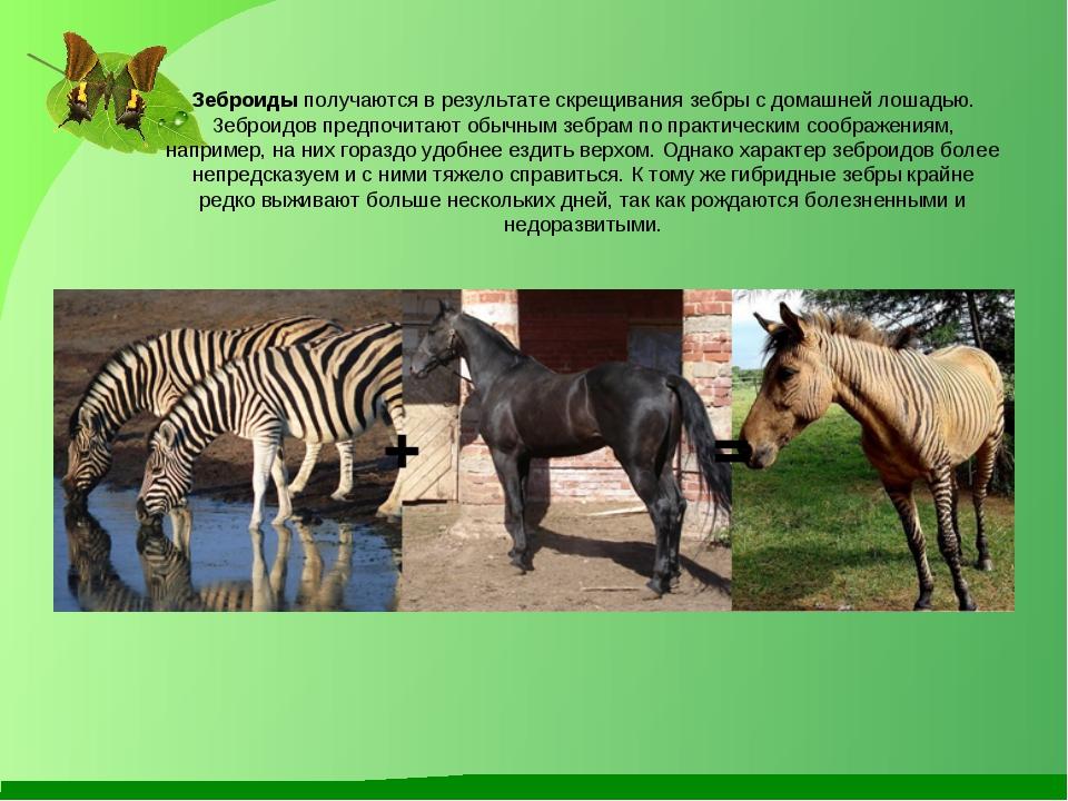 Зеброиды получаются в результате скрещивания зебры с домашней лошадью. Зеброи...