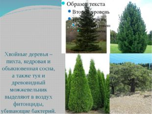Хвойные деревья – пихта, кедровая и обыкновенная сосна, а также туя и древов