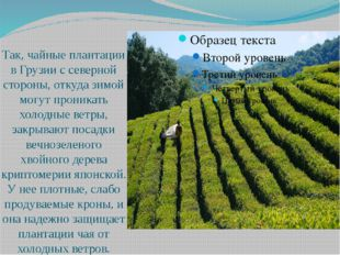 Так, чайные плантации в Грузии с северной стороны, откуда зимой могут проник