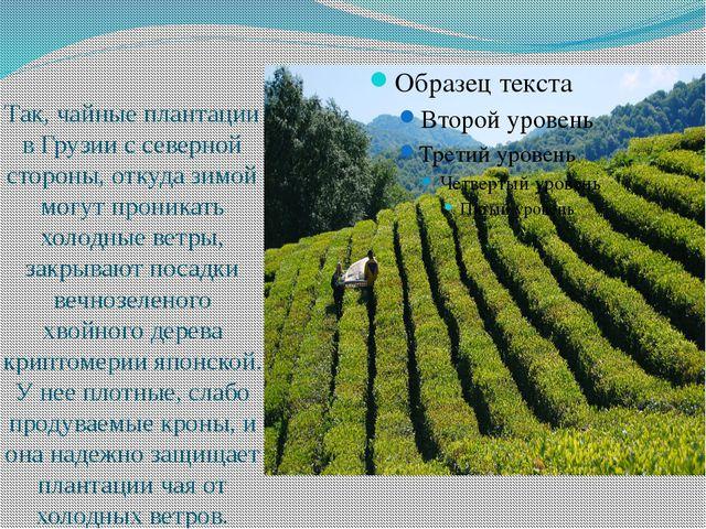 Так, чайные плантации в Грузии с северной стороны, откуда зимой могут проник...