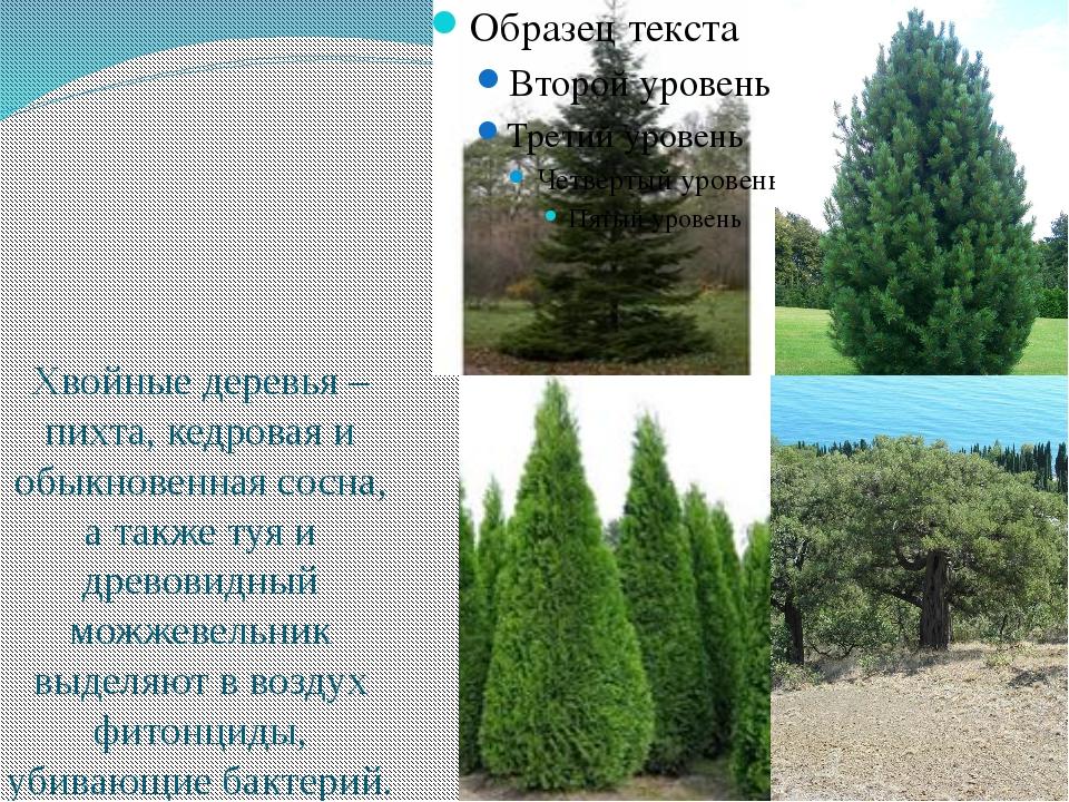 Хвойные деревья – пихта, кедровая и обыкновенная сосна, а также туя и древов...