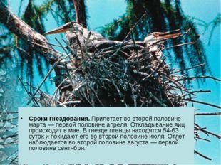 Сроки гнездования. Прилетает во второй половине марта — первой половине апре