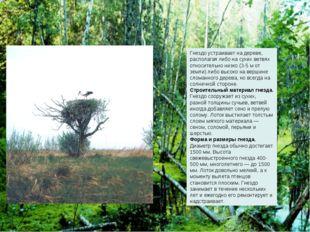 Гнездо устраивает на дереве, располагая либо на сухих ветвях относительно низ