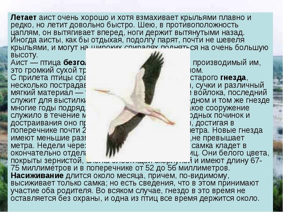 Летает аист очень хорошо и хотя взмахивает крыльями плавно и редко, но летит...