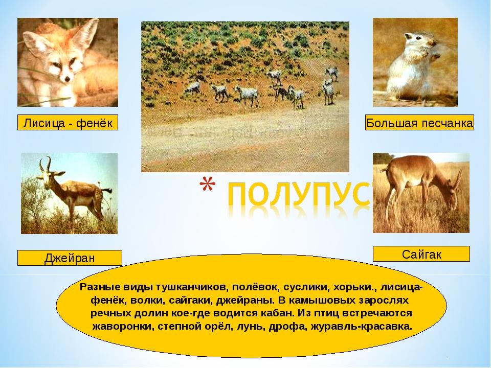 Лисица - фенёк Большая песчанка Сайгак Разные виды тушканчиков, полёвок, сусл...