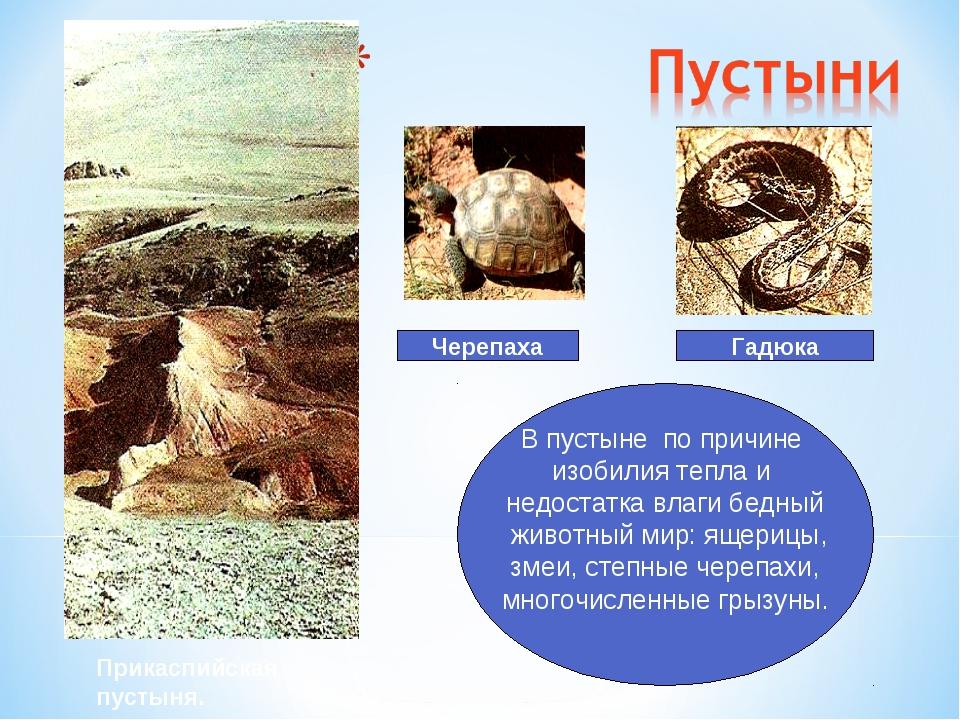 Гадюка Черепаха В пустыне по причине изобилия тепла и недостатка влаги бедный...