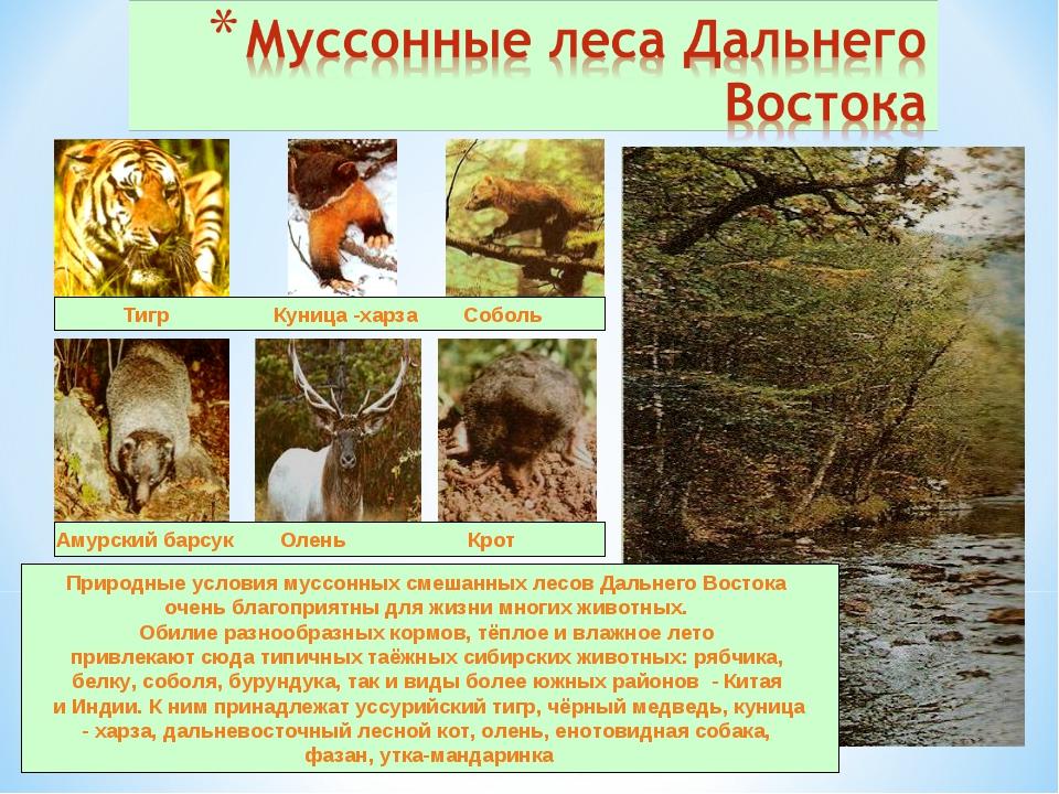 Тигр Куница -харза Соболь Амурский барсук Олень Крот Природные условия муссо...