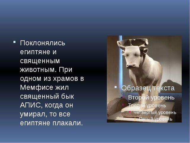 Поклонялись египтяне и священным животным. При одном из храмов в Мемфисе жил...