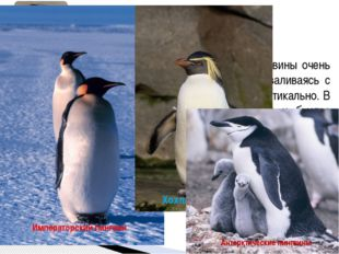 По внешнему облику и чертам строения пингвины очень своеобразны. На суше он