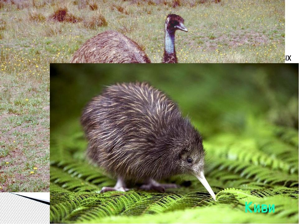 Самые крупные современные птицы. Обитают в открытых ландшафтах Африки, Южно...