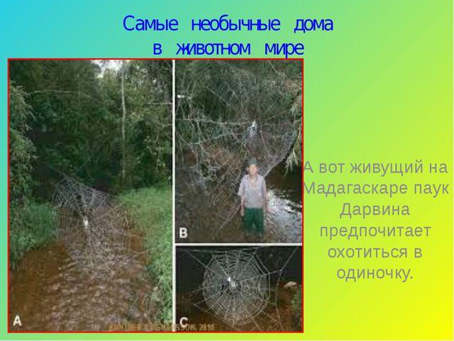 Самые необычные дома в животном мире А вот живущий на Мадагаскаре паук Дарвин...