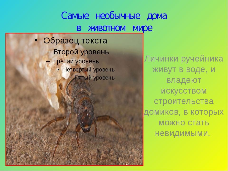 Самые необычные дома в животном мире Личинки ручейника живут в воде, и владею...